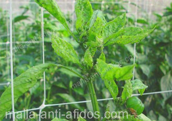 ataque a planta por áfidos