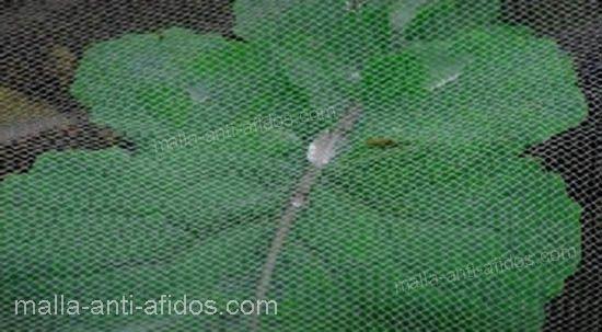 muestra de la malla anti-áfidos en planta